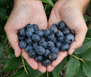 Pick your own blueberries now open!
